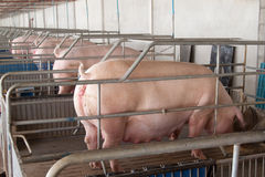 Pig. Pic of pig in a stable Stock Photography