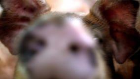 Pig at pig farm. Pig portrait. Pig at pig farm. Pig portrait stock footage