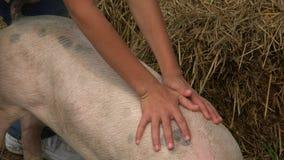 Pig At Pig Farm stock video footage