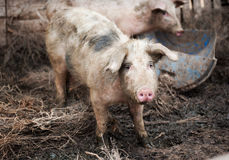 Pig on a pig- farm Stock Photo