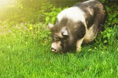 Pig. Outdoor closeup snout meadow grazing baby stock photo