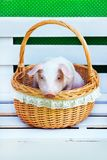 Pig piglet little basket white background wicker cute breed new year happy. One white pigs sits in a wicker basket. Cute little piglet on a white background royalty free stock photos