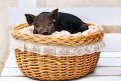 Pig piglet little black basket white background wicker cute Vietnamese breed new year happy. One black pigs of Vietnamese breed sits in a wicker basket. Cute stock images