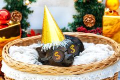 Pig piglet little black basket wicker cute Vietnamese breed new year happy Christmas tree decorations garland gift marble glasses. One black pigs of Vietnamese stock photos