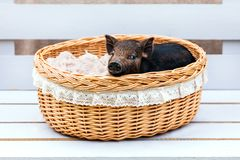 Pig piglet little black basket wicker cute Vietnamese breed new year happy Christmas tree decorations garland gift marble. One black pig of Vietnamese breed sits stock image