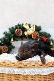 Pig piglet little black basket wicker cute Vietnamese breed new year happy Christmas tree decorations garland gift marble. One black pigs of Vietnamese breed royalty free stock photos