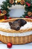 Pig piglet little black basket wicker cute Vietnamese breed new year happy Christmas tree horns deer decorations garland gift marb. One black pigs of Vietnamese stock images