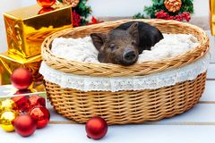 Pig piglet little black basket wicker cute Vietnamese breed new year happy Christmas tree horns deer decorations garland gift marb. One black pigs of Vietnamese stock photo