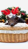 Pig piglet little black basket wicker cute Vietnamese breed new year happy Christmas tree horns deer decorations garland gift marb. One black pig of Vietnamese stock images