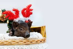 Pig piglet little black basket wicker cute Vietnamese breed new year happy Christmas tree horns deer decorations garland gift marb. One black pig of Vietnamese royalty free stock photo