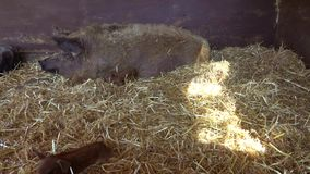Pig and piglet. Mother pig and her newborn baby piglet on a hay on the farm stock video