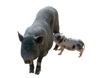 Pig and piglet Royalty Free Stock Photos