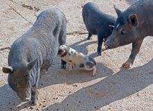Pig and piglet Royalty Free Stock Photo