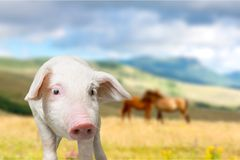 Pig. Let white isolated agriculture mammal animals Royalty Free Stock Photo