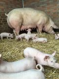 Pig with piglets Royalty Free Stock Photo