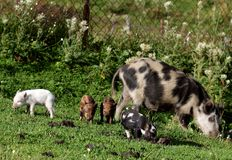 Pig and piglets Royalty Free Stock Photo