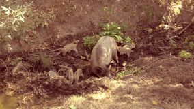 Pig with piglets dig earth. Pig with piglets dig near a stream stock footage