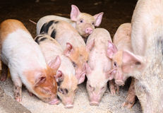 Pig and piglets eating swill. In farm pigs pen Royalty Free Stock Image