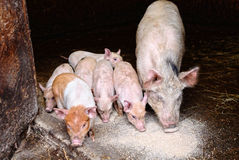 Pig and piglets eating swill. In farm pigs pen Stock Photography
