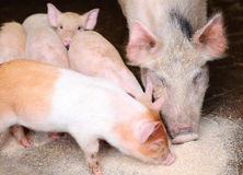 Pig and piglets eating swill. In farm pigs pen Stock Images