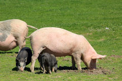 Pig with piglets grazing in the meadow Royalty Free Stock Photos