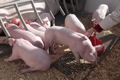 Pig and piglets on a local fair stand cage Stock Image