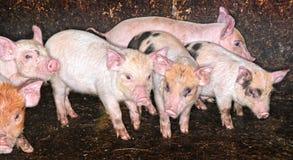 Pig Piglets in pen Stock Images