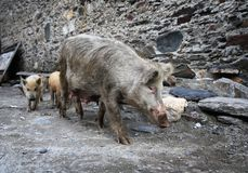 Pig with piglets. On stone wall background royalty free stock images