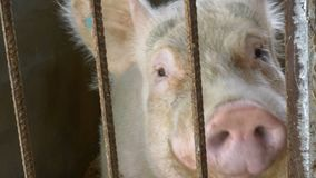 Pig in a pigpen. Big Adult male Pig in a pigpen waiting to be fed stock footage