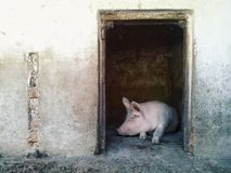 Pig in pigpen Stock Photo
