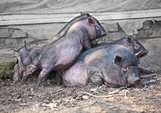 Pig with pigs Royalty Free Stock Photo