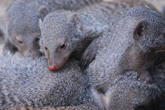 Pig Pile of Sleepy Dwarf Mongooses Stock Images