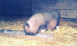 Pig Pitti Royalty Free Stock Images