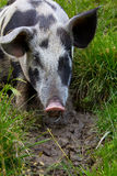 Pig Playing In The Mud Stock Photos