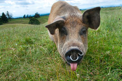 Pig poking her tongue out Royalty Free Stock Photography