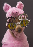 Pig, Poodle, Greed Royalty Free Stock Photography