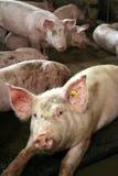 Pig Portrait Stock Photography