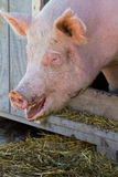Pig portrait Royalty Free Stock Photos