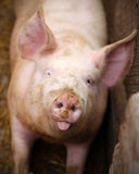 Pig portrait Royalty Free Stock Photo