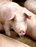 Pig portrait Royalty Free Stock Photo