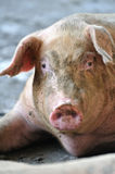 Pig Portrait. A female pig at a pig farm Royalty Free Stock Images