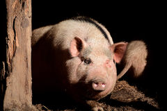 Pig portrait stock image