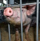 Funny pink pig with a big behind bars stock photography