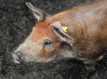 Pig portrait close up royalty free stock images