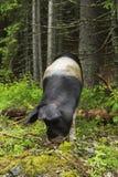Pig portrait. Portrait of a funny wild pig Stock Image