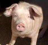 Pig portrait stock photos