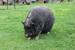 Pig (primeval breed). Pig in a reconstructed slavic village from the early middle ages (Czech Republic Stock Image