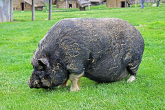 Pig (primeval breed) Stock Images