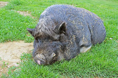 Pig (primeval breed). Pig in a reconstructed slavic village from the early middle ages (Czech Republic Stock Images
