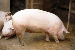 Pig profile royalty free stock photography